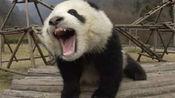 心疼!我国大熊猫在英国遭受电击,全程颤抖大叫,网友彻底怒了!