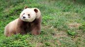 全球唯一圈养棕色大熊猫七仔 被熊猫国际组织终生认养