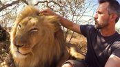 狮语者带你们撸不一样的大猫,狮子鬣狗黑豹在他面前都变成小猫咪