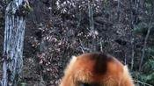 金丝猴是我见过最温柔的猴子了,不像峨眉山的猴
