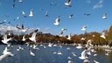 (疫情之前拍摄)昆明大观楼赏滇池美景,看海鸥翱翔蓝天白云!