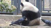两只乌鸦太放肆,拼命薅熊猫的毛,熊家却十分淡定,只顾着吃