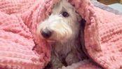 初五迎财神,外面天雷地火的,小狗躲在被窝里,紧张的看着窗外,放心吧,不是汪星派来抓你回去的飞碟