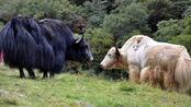 自驾游去西藏,不小心撞死一头牦牛赔多少?答案让保险公司都沉默