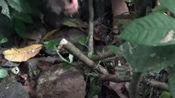 丛林生存如何获取食物?教你自制简单的陷阱,贝爷德爷都用过这招