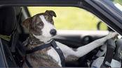 国外狗狗八个星期拿下驾照!有图有真相,网友:我还不如一只狗!