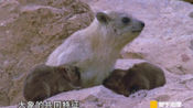 狐狸遭到洪水突袭,它和未出生的胎儿能逃过一劫吗