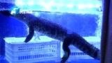 超市卖鳄鱼引市民围观,民警:取得相关经营许可证后可以售卖