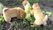 喂妖妖灵吗这里有三只强盗手法凶残,大白菜已遇险