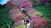 【V-log】旅行~福建龙岩~听说这里有个樱花茶园