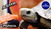 【my Animal】乌龟吃木瓜动物可爱乌龟我的动物51(2019年10月23日4时38分)