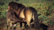 4.2万年前冰河时期的小马驹,如今血液还在流动!科学家想复活它