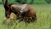 如果你是那种南非大羚羊,你成活逃脱的几率有多大?