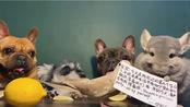 【龙猫】狗子挑战吃柠檬失败,是柠檬不好恰,还是鸟太香了?鸟:我也想举牌!