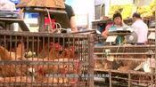 粤语:香港鸡场发现湛江鸡清远鸡,哪个更好吃,老板回答我不服