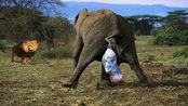 象宝宝刚出生还不会走,几头狮子围了上来,结果让人出乎意料