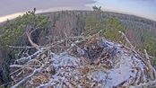 鱼鹰在旧巢驻足,此时飞来一只乌鸦,还对鱼鹰进行挑衅