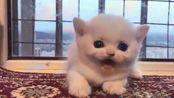 当小奶猫生起气来,看起来奶凶奶凶的呢,再惹我我就揍你了!