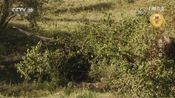 [自然传奇]残酷的自然 仅有少数幼狮能活过出生后几周