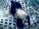 雅安碧峰峡的熊猫1