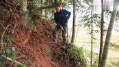 专业挖笋人视频,挖笋狂人,大枫树下挖出一个笋窝!