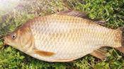 春季鲫鱼很是特别,有调理肠胃之功效,你知道吗?