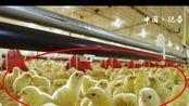 福建省光泽县:5亿只鸡的故事