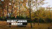 梧桐银杏翠竹垂柳万年青棕榈。秋日阳光,清澈天空,我的校园。