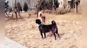 中华田园犬,看到你回眸一笑,就知道我没白带你出来玩