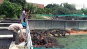 实拍鳄鱼养殖场,这么多鳄鱼一天得吃多少肉呀