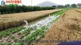 河南南阳:千亩小麦临近收割,当地农民却高兴不起来,谁的错?