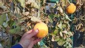 河北沧州,一户农家门口青藤上发现了特别好看的果子:到底是啥?