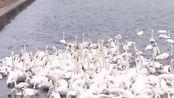 促进生态修复保证天鹅食物充足 威海荣成人工增殖大叶藻引借鉴