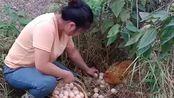 美女家养的鸡真好,一次就可以下这多的鸡蛋,这得多长时间才能吃完!