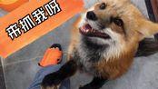 【赤狐】捕捉一只狐狸要多长时间?两秒钟足矣!!!狐狸躺在你的脚边求撸【宠物狐狸】【白化赤狐】