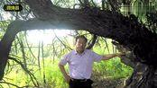 山西省绛县大山深处发现千年稀有古茶树 富含微量元素