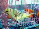 羽衣基因鸟--1999www.birdbb.com