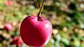 """糖尿病患者苹果升血糖还是降血糖?一定很重要,""""糖分""""含量低"""