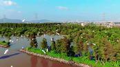 【乡村美景】-百灵·靓 中山坦洲:白鹭结伴飞 尽显生态美