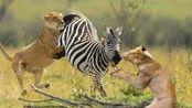 动物世界:狮子将斑马锁喉,斑马不甘心,仅用一招狮口脱险!
