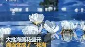 """美到窒息!泸沽湖海菜花大批盛开,湖面变成了""""花海"""""""