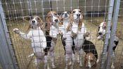 一出生就是实验体的狗狗,看到医生就抬起头,摇着尾巴等着被抽血