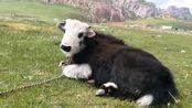 牦牛长了白色毛发!肤色跟别人不一样!还以为你是大熊猫!