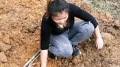 疫情期间赶在好天气,全家出动上山挖葛根