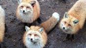 小狐狸和主人十多天没见,一见面就往主人身上扑,还会嗲嗲的撒娇