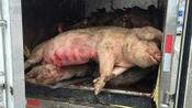 """病死的猪都去哪了?真用来制作火腿肠吗?养殖场员工透露""""内幕"""""""