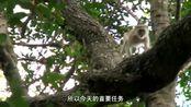 单挑荒野:德哥觉得猴子们在发出警报,他赶紧搭建了一个住处