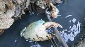 养殖场赶海发现水里冒黑水,掏开伸出一只大钳子,阿文当场激动了