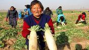 过冬蔬菜价格集体跳水,创5年新低,明年菜农的出路在哪里?