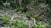 [新闻直播间]湖北宜昌 保护区拍到林麝活动视频